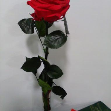Rosa Eterna Premium