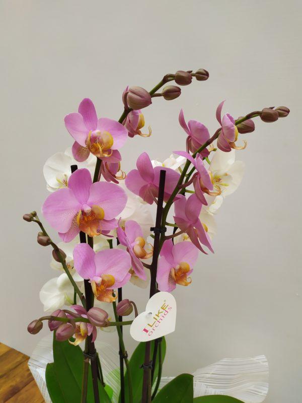 Base orquídeas