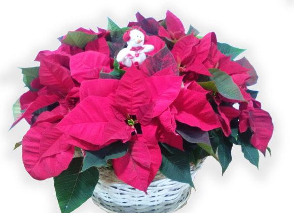 El pascuero o poinsetia, la planta estrella de la Navidad