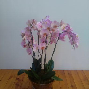 Base 3 orquídeas rosas