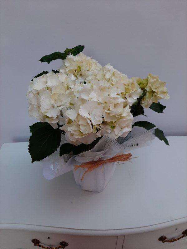 Planta de Hortensias blancas
