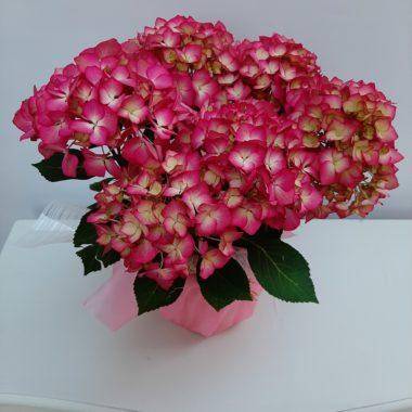 Planta Hortensias Rosas