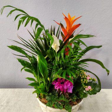 Arecca - Cesta plantas interior